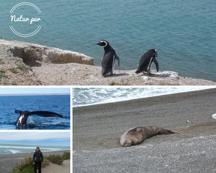 Natur pur in Puerto Madryn Once in a lifetime whale-watching and the cutest penguins
